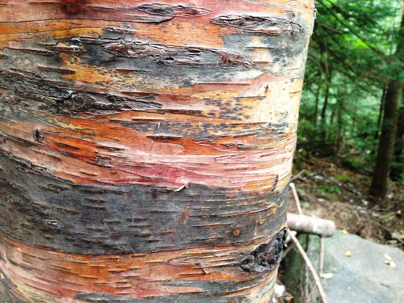 The many shades of birch