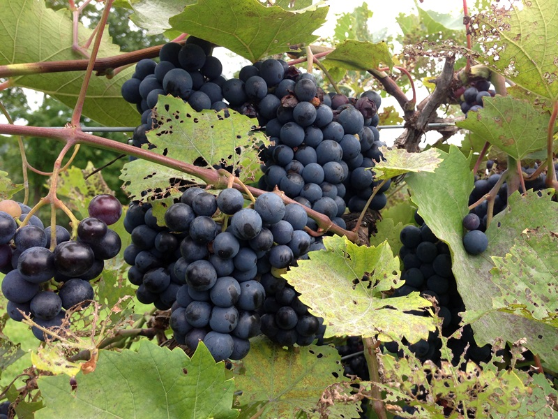 Marquette Grapes at Victory View Vineyards - A Surprise Discovery on our Trip Upstate