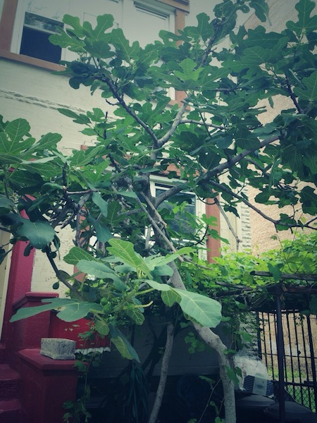 Brooklyn Fig Tree