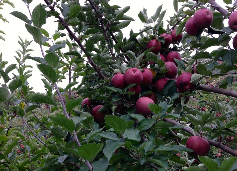 Winesap Apples